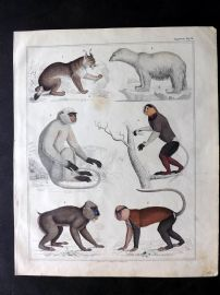 Oken 1843 HCol Print. Primates. Monkeys, Apes, Polar Bear, Wild Cat
